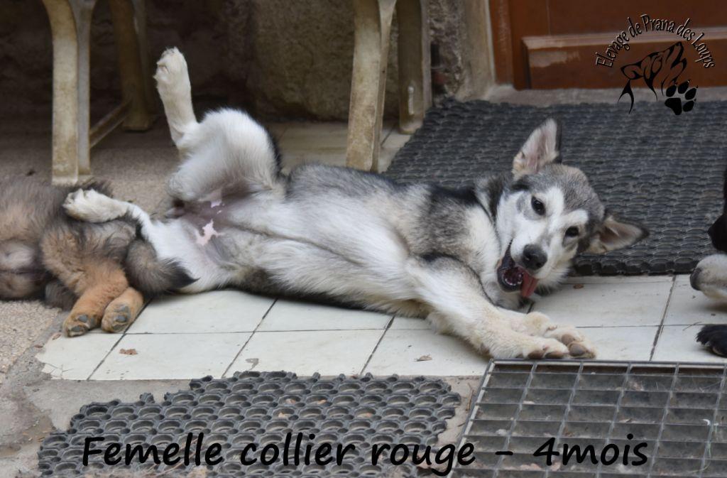 De Prana Des Loups - Chiot disponible  - Alaskan Malamute