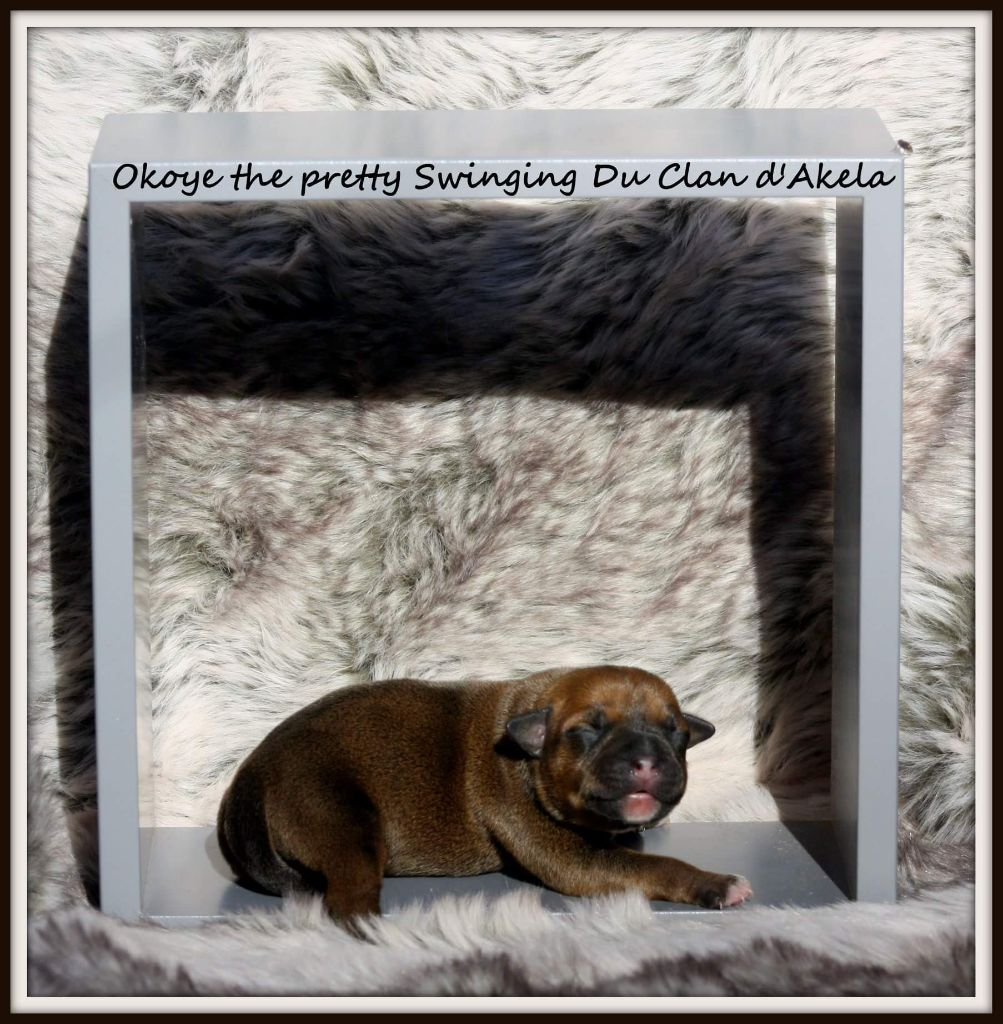 Du Clan D'Akela - Chiot disponible  - Staffordshire Bull Terrier