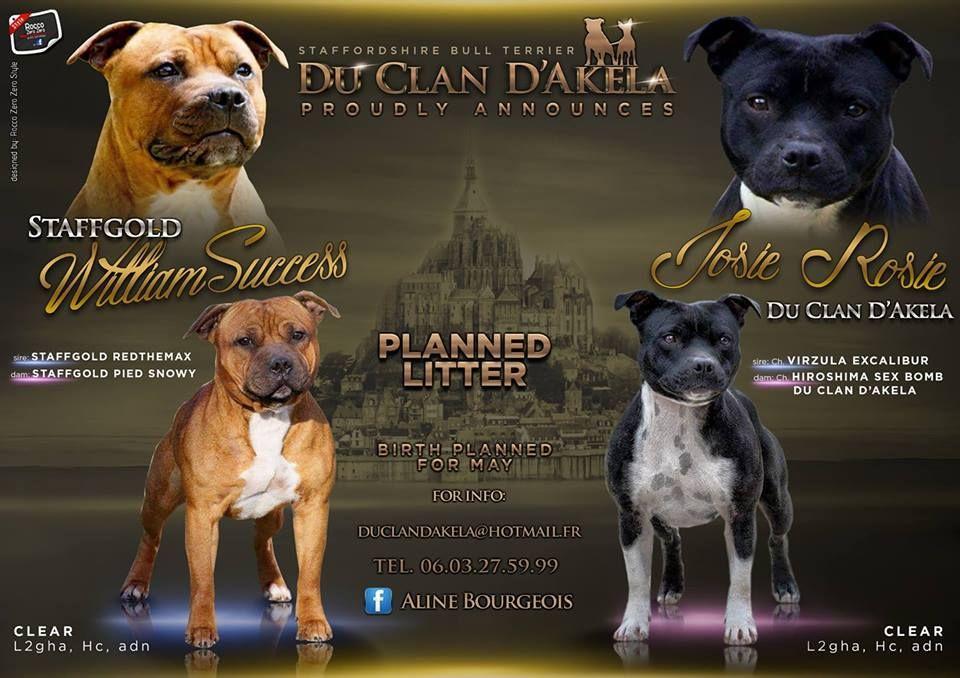 Du Clan D'Akela - Staffordshire Bull Terrier - Portée née le 25/05/2018