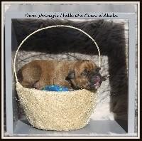 Du Clan D'Akela - Staffordshire Bull Terrier - Portée née le 10/08/2018