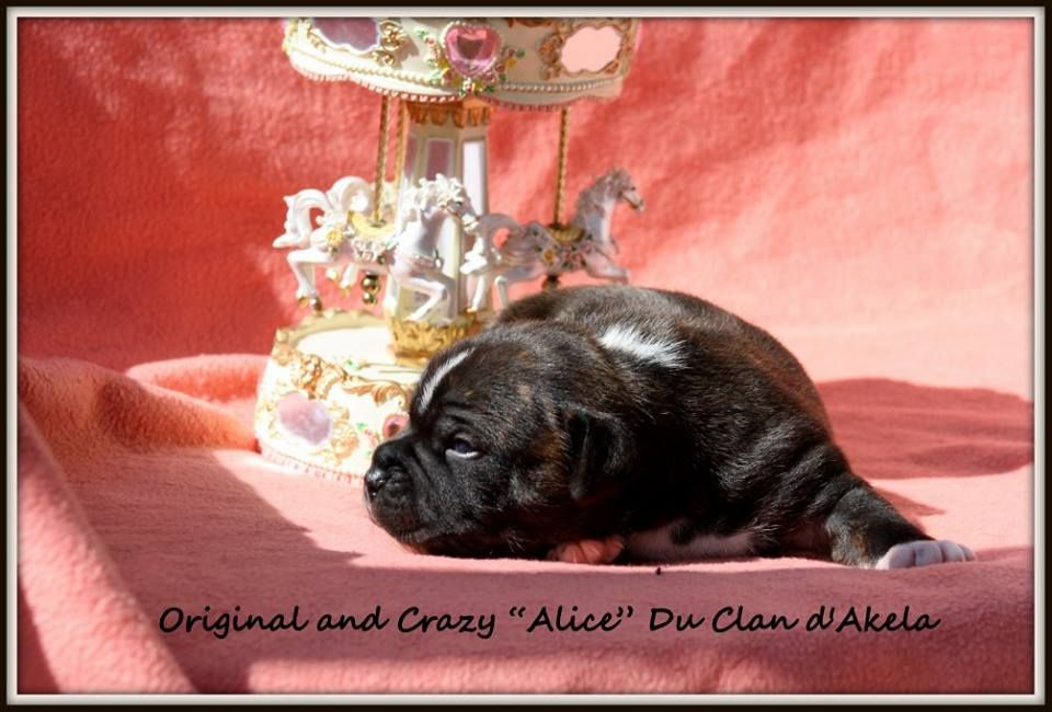 Original and Crazy  - Staffordshire Bull Terrier