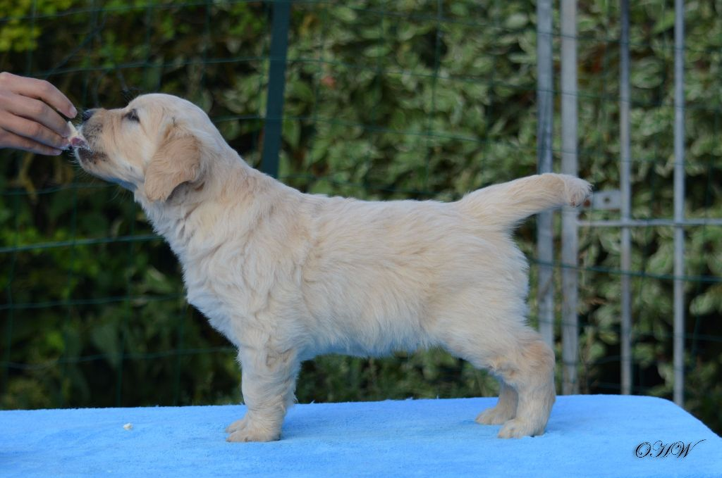 On Highness's Way - Chiot disponible  - Golden Retriever