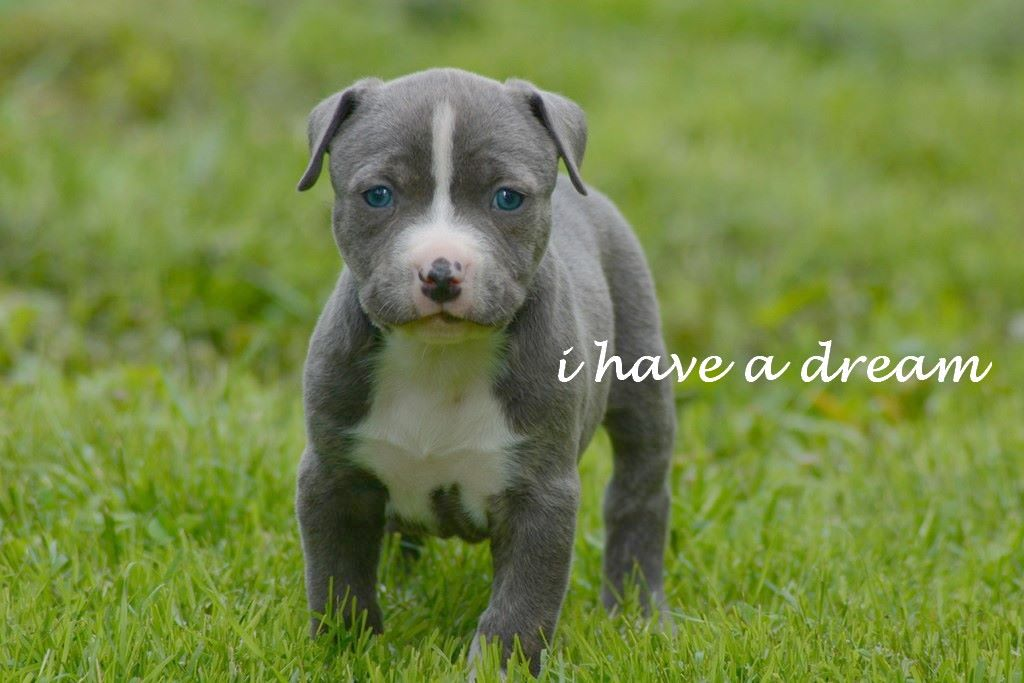 I have a dream - Chiot disponible  - American Staffordshire Terrier