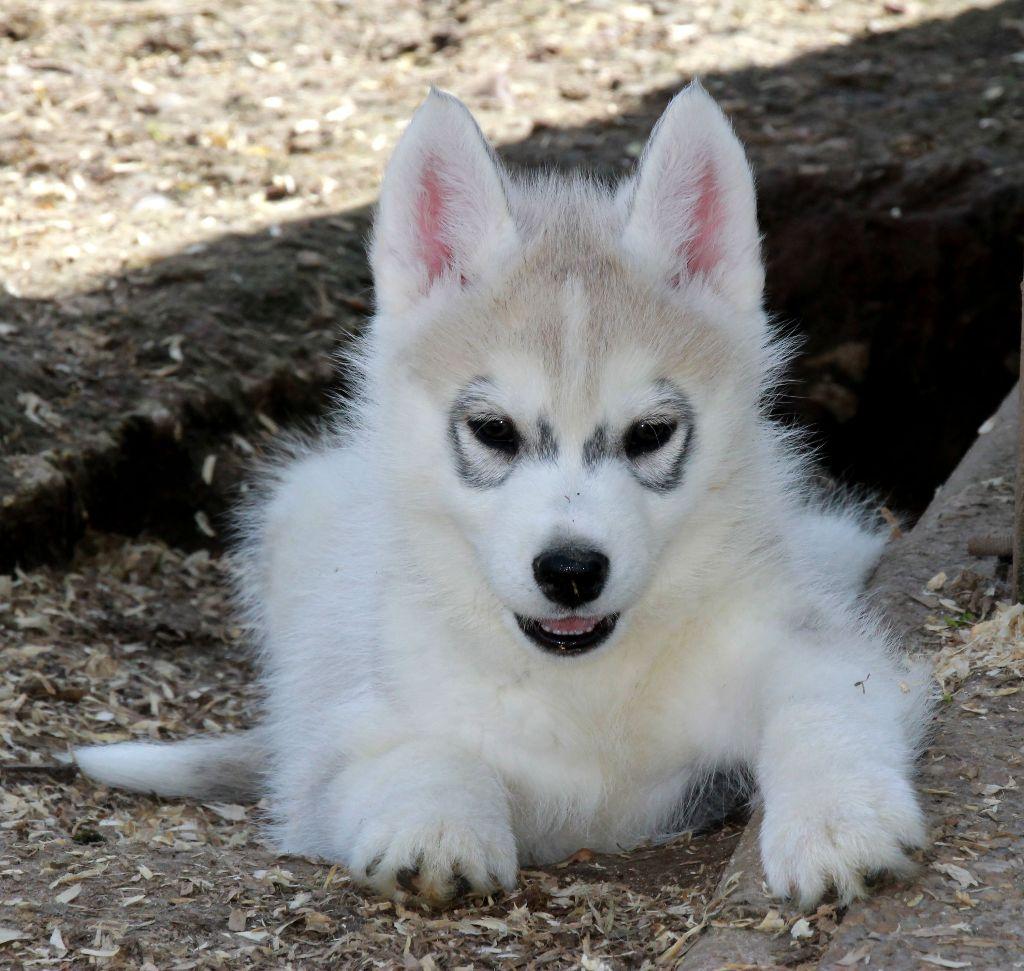 Naillik's - Chiot disponible  - Siberian Husky