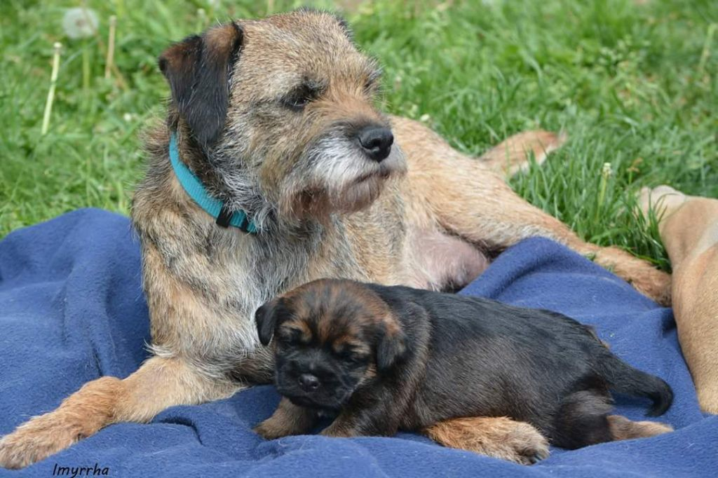 D'imyrrha - Chiot disponible  - Border Terrier