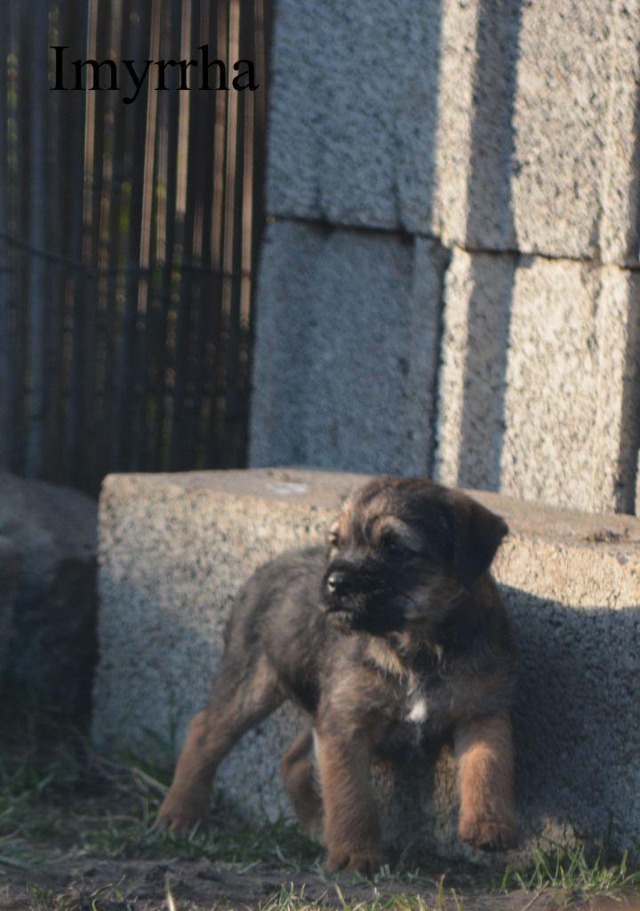 D'imyrrha - Chiot disponible  - Border Terrier