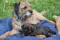 D'imyrrha - Border Terrier - Portée née le 20/04/2018