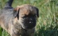 D'imyrrha - Border Terrier - Portée née le 17/06/2018