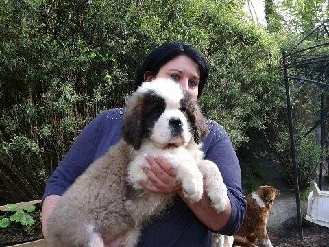 Chiot - Elevage de chien de race Saint-Bernard de l
