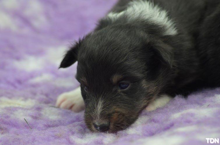 De La Terre De Neaure - Chiot disponible  - Shetland Sheepdog