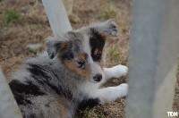 Chiots Shetland Sheepdog