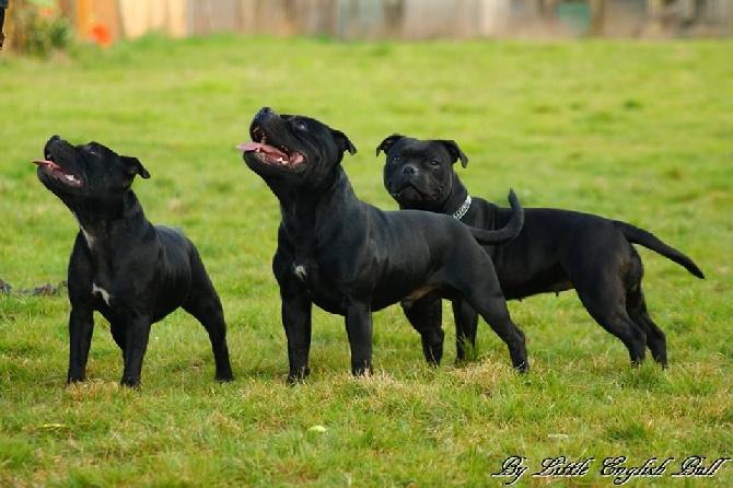 Comportement Staffie accueil - elevage the little english bull - eleveur de chiens