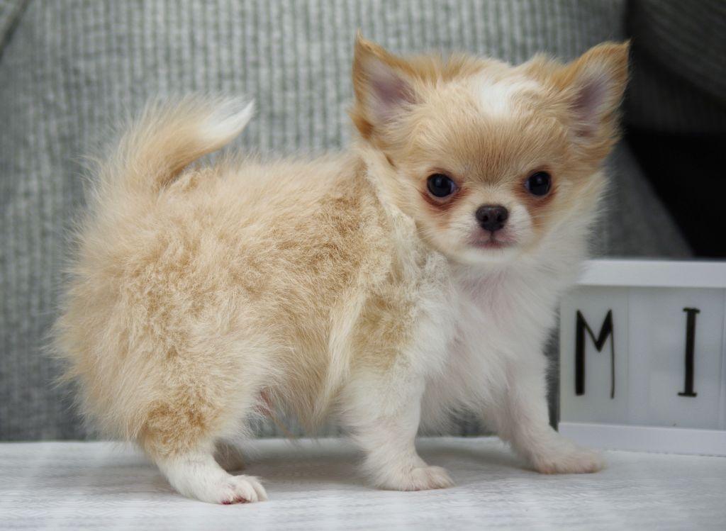 OURSON JOLI des Minis Boss - Chihuahua