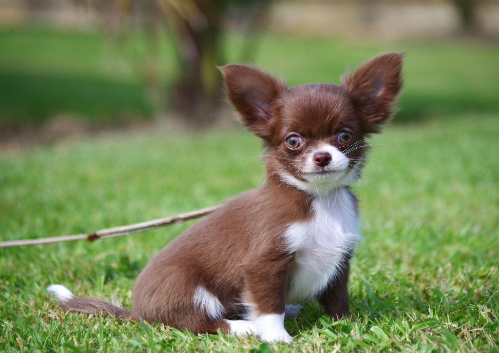 Des Minis Boss - Chiot disponible  - Chihuahua