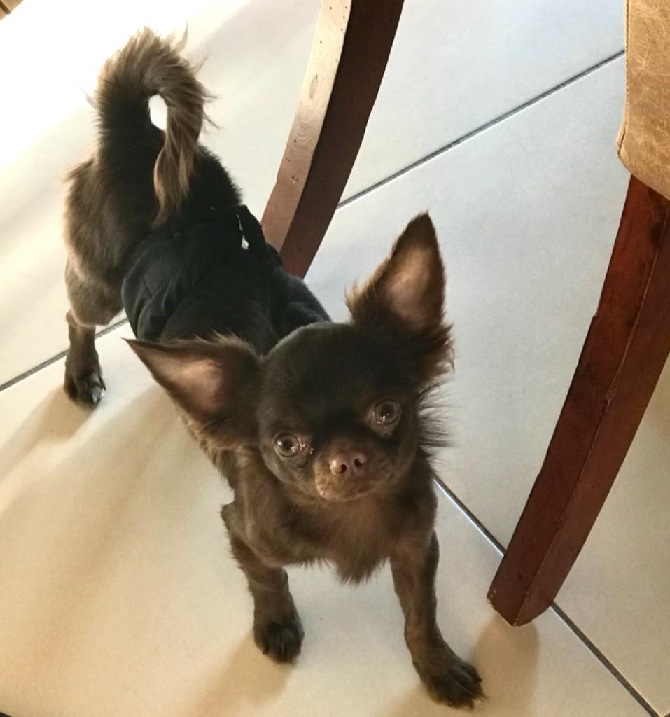 Noisette des Minis Boss - Chihuahua