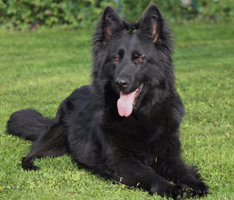 Fabuleux Chien - Elevage Du domaine saint loup - eleveur de chiens Berger  CR81