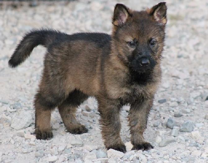 Souvent Accueil - Elevage Du domaine saint loup - eleveur de chiens Berger  XN88