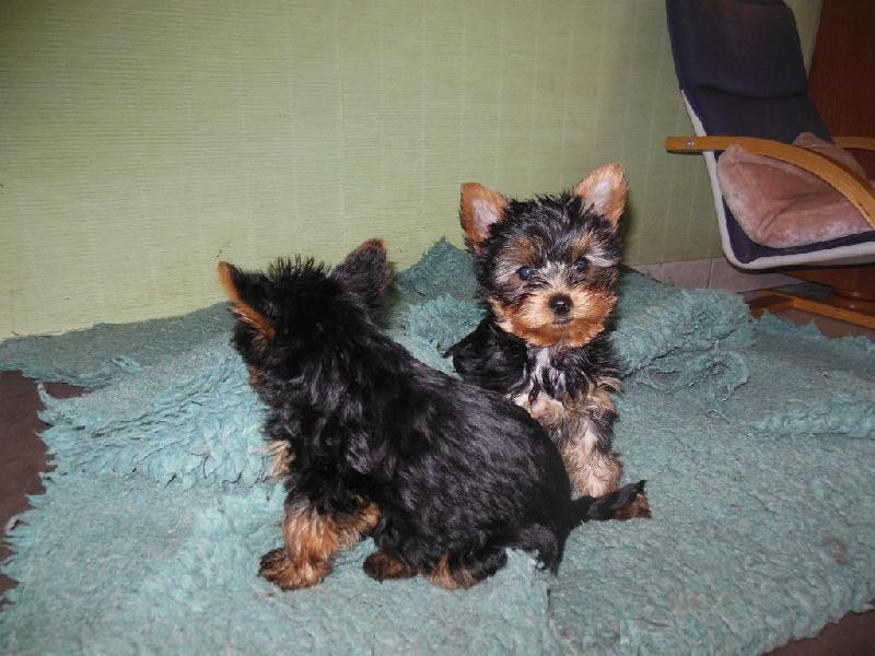 Du Clos De L'atonnière - Chiot disponible  - Yorkshire Terrier