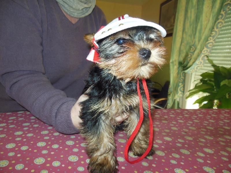 Chiot Yorkshire Terrier, mâle disponible en Pays de la
