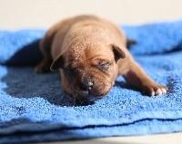 Staffordshire Bull Terrier - Du domaine des collines blanches