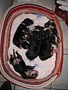 de la ferme au vieux chêne - Bouvier bernois - Portée née le 14/03/2010