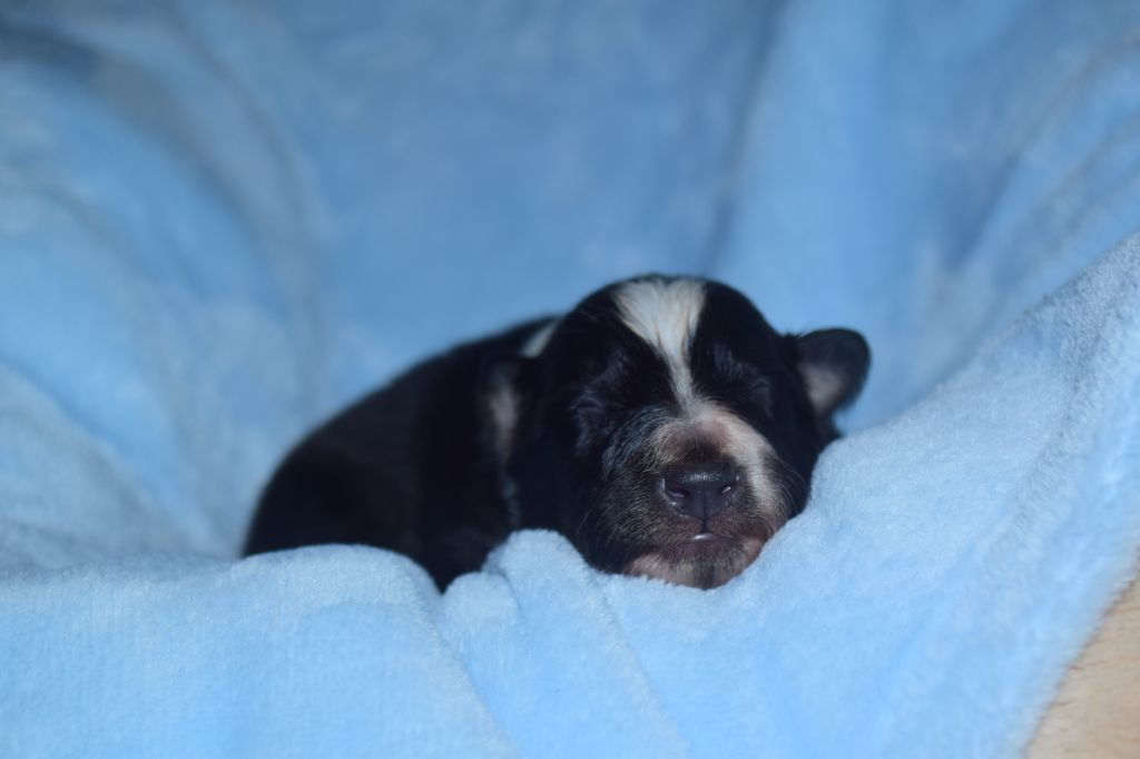 Dame Vanoise Peint La Boheme - Chiot disponible  - Shetland Sheepdog