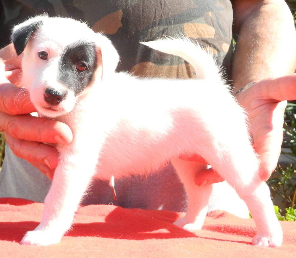 De La Rivière Landelot - Chiot disponible  - Fox Terrier Poil lisse