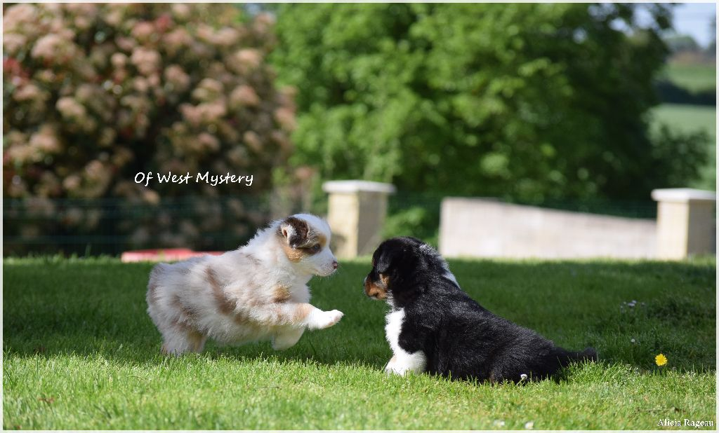Chiot - Elevage Of West Mystery - eleveur familial de