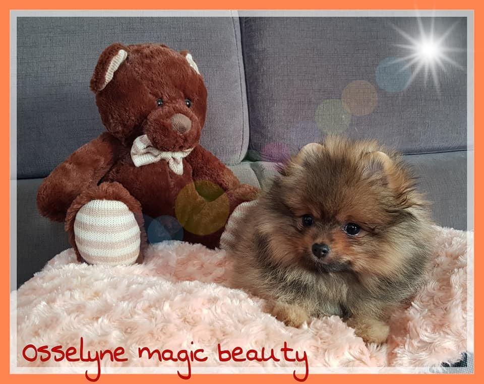 Osselyne Magic Beauty - Spitz allemand