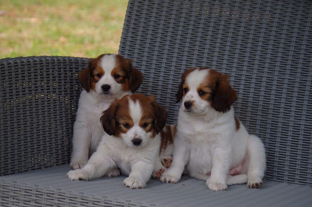 Des Grandes-duchesses De Pouchkine - Petit chien hollandais de chasse au gibier d'eau - Portée née le 22/07/2017