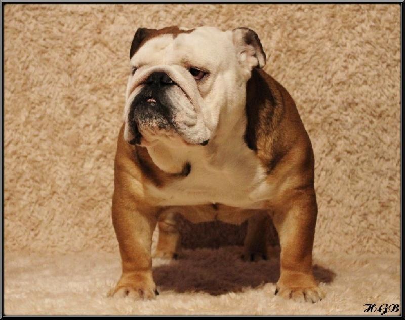 Publication : Horse Gard Bulldog  Auteur : GWLADYS RAY