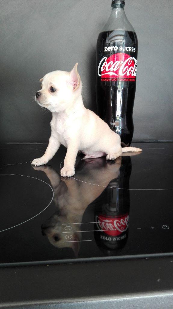Des Petits Grands Bonheurs - Chiot disponible  - Chihuahua