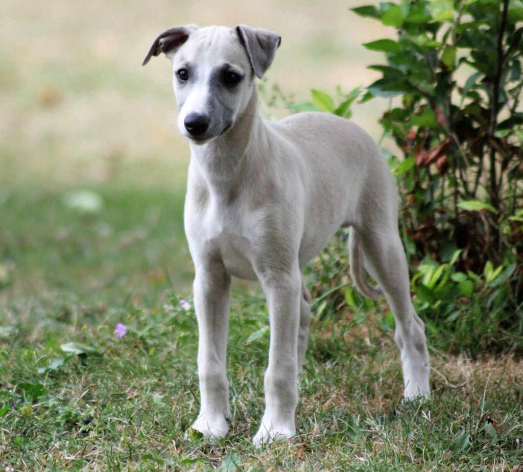 Owens Jesse - Whippet