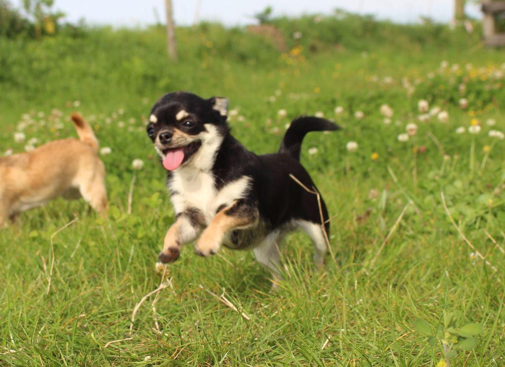 Maï-lee De La Contrée Des Elfes Chihuahua