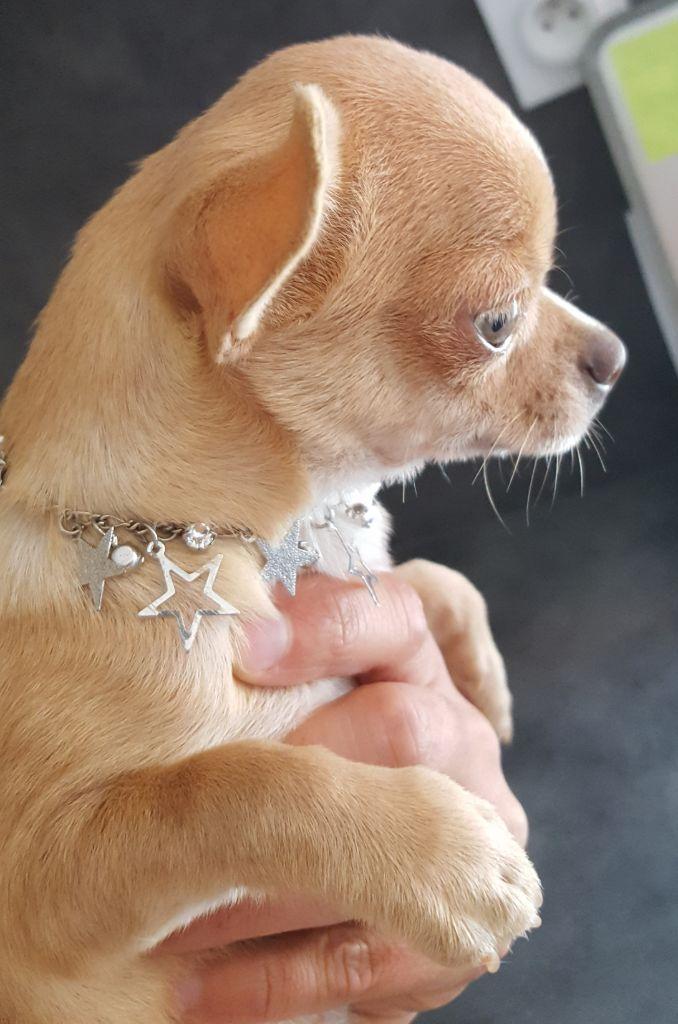 Femelle lilas/fauve - Chihuahua