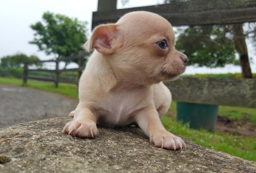 CHIOT femelle lilas/fauve - Chihuahua