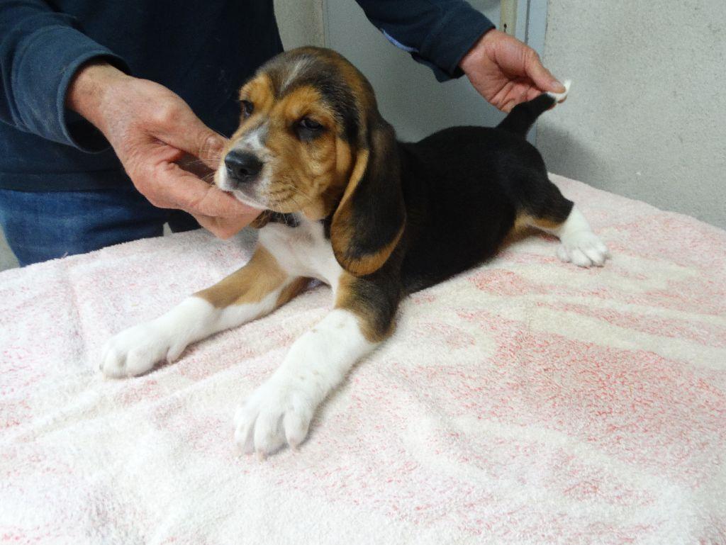 De La Petite Vallee Des Chiens - Chiot disponible  - Beagle