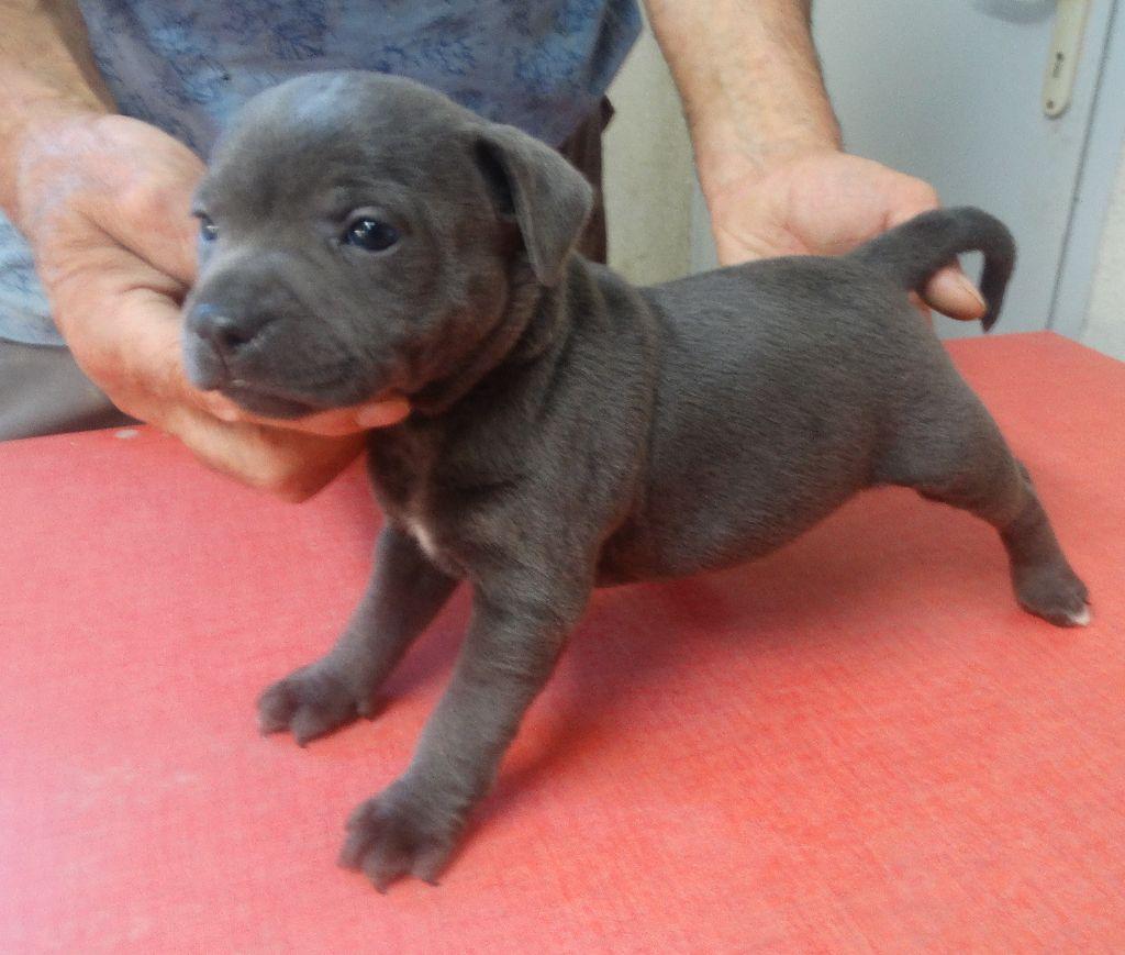 De La Petite Vallee Des Chiens - Chiot disponible  - Staffordshire Bull Terrier