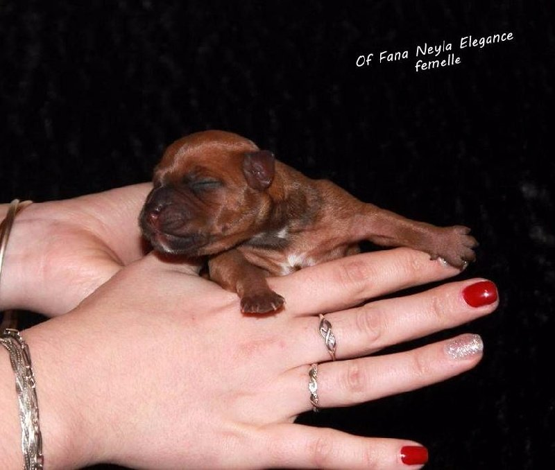 Of Fana Neyla Elegance - Chiot disponible  - Staffordshire Bull Terrier