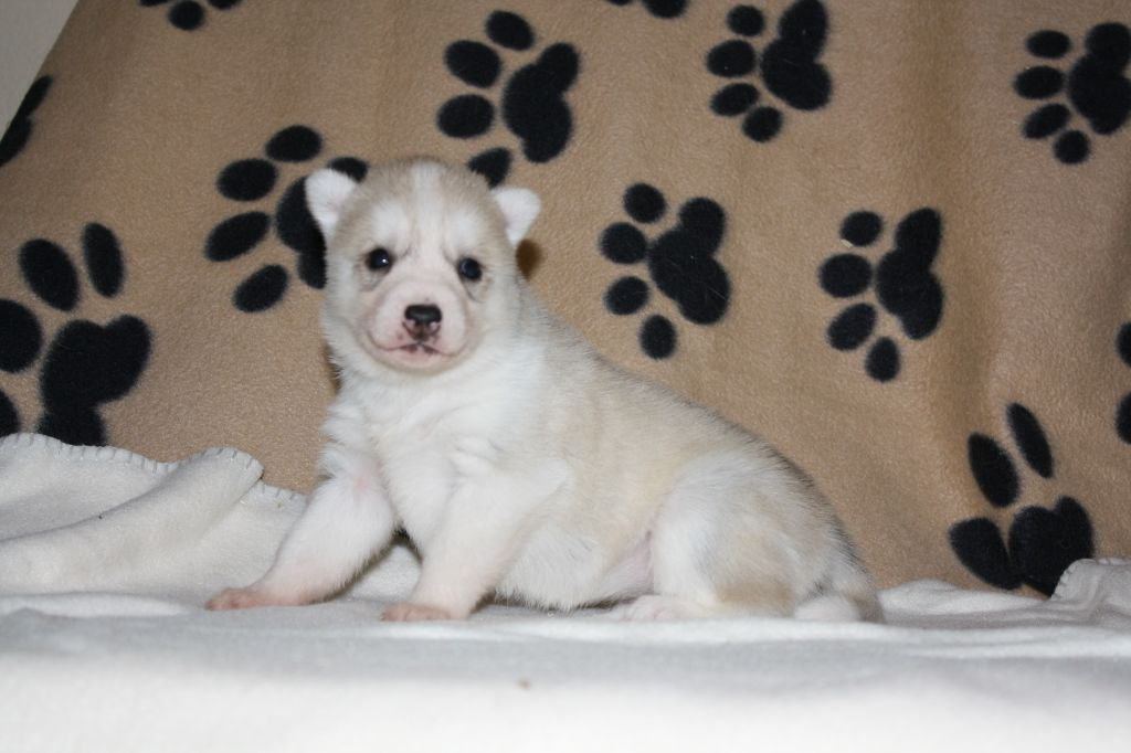 Of White Pass - Chiot disponible  - Siberian Husky
