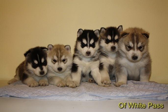 Of White Pass - Siberian Husky - Portée née le 27/02/2012