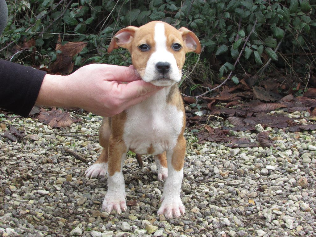 De L' Entre Des Ghost Riders - Chiot disponible  - American Staffordshire Terrier