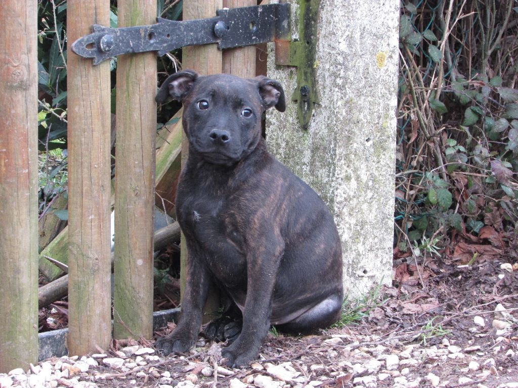 nitro - Staffordshire Bull Terrier