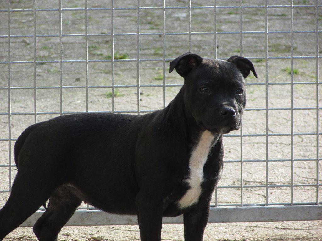 De L' Entre Des Ghost Riders - Chiot disponible  - Staffordshire Bull Terrier
