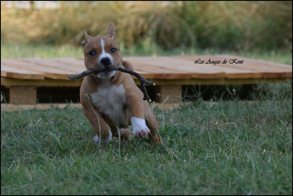 F4 Penny Lane  - American Staffordshire Terrier
