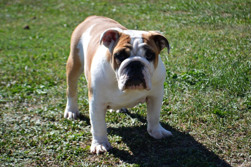 Precious Beauty's - Chiot disponible  - Bulldog Anglais