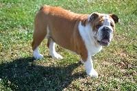 Precious Beauty's - Bulldog Anglais - Portée née le 28/02/2018