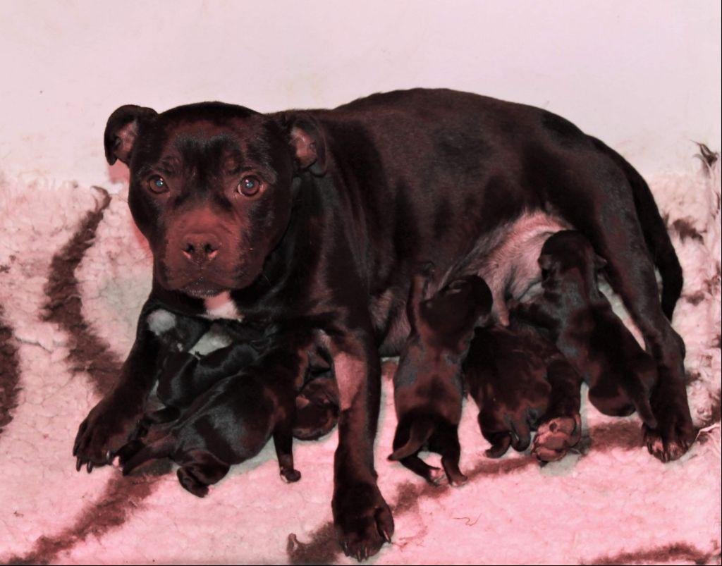 chiot Staffordshire Bull Terrier Des Fées Noires