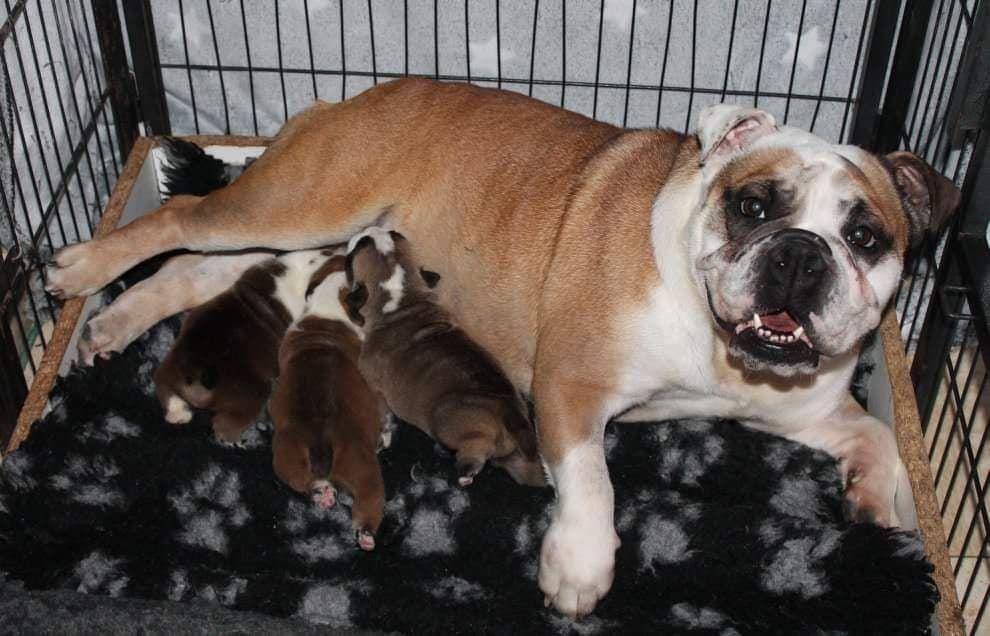 Des Fées Noires - Chiot disponible  - Bulldog Anglais