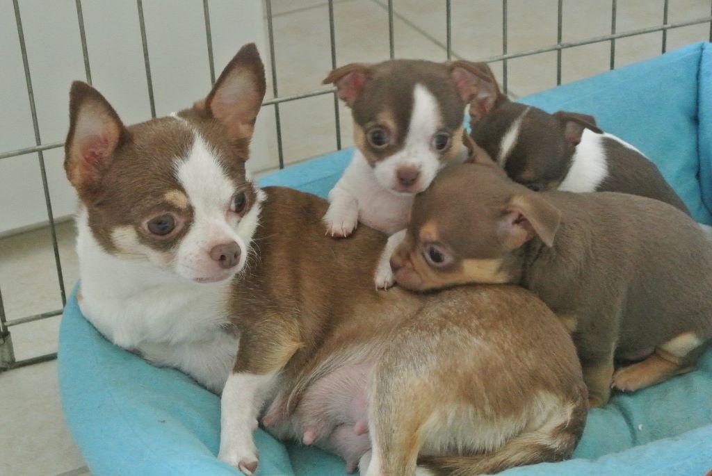 De Los Machucambos - Chiot disponible  - Chihuahua